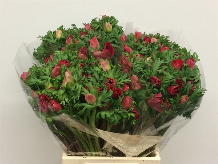 <h4>Anemone cor. 'Marianne Red'</h4>