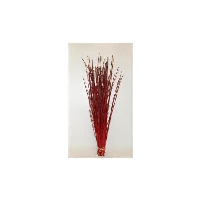 <h4>Cornus Rood Winter Red P.bos</h4>