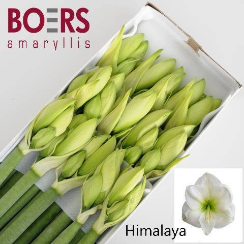 <h4>Amaryllis Himalaya</h4>