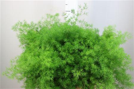 <h4>Asparagus Umbellatus 70</h4>