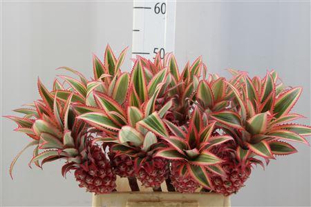 <h4>Ananas Small</h4>