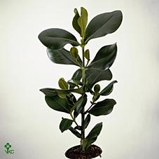 <h4>Clusia rosea</h4>