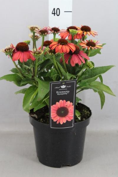 <h4>Echinacea purp. 'Mooodz Sympathy'</h4>