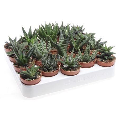 <h4>Aloe - Haworthia Gemengd</h4>