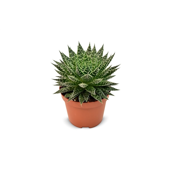 <h4>Aloe Zambezi - Premium</h4>