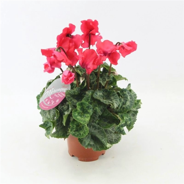 <h4>Cyclamen Merengue red</h4>