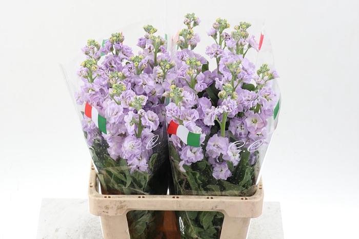 <h4>Matth Phantom  Lavender ( C )</h4>