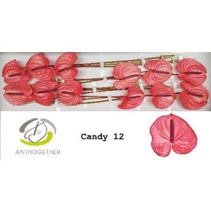 ANTHURIUM CANDY