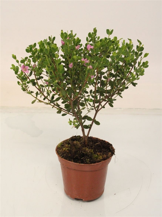 <h4>Boronia Crenulata Stem</h4>