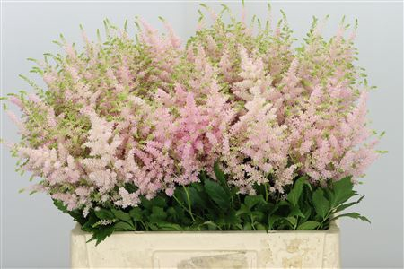 <h4>Astilbe Europa Pale Pink</h4>