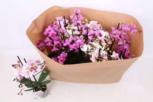 <h4>Phalaenopsis Multifloratypes mixed 10 kolorów 12Ø 50cm 2 pędy 30+ kwiatów</h4>