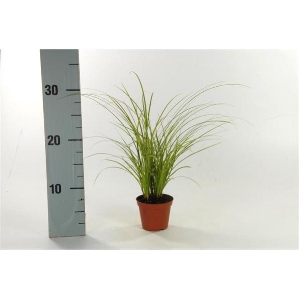 <h4>Carex brunnea 'Variegata' p8</h4>