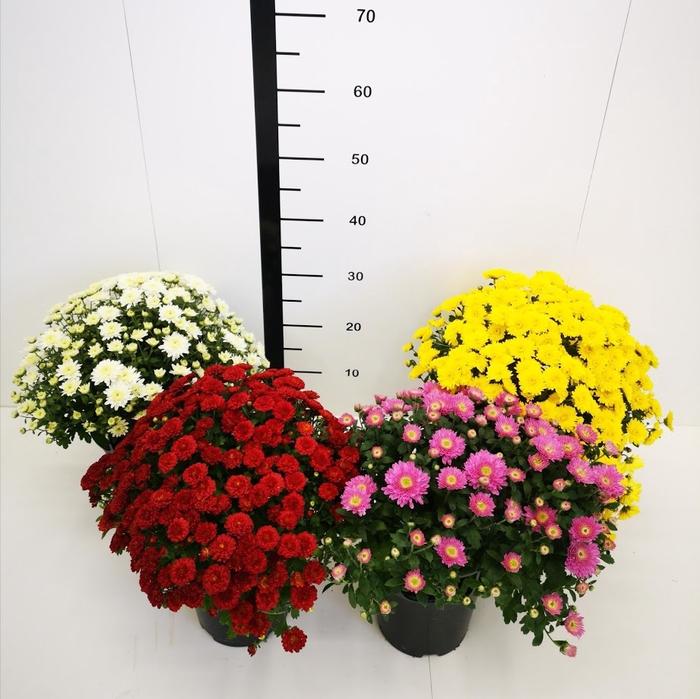 <h4>Chrysanthemum bola mix</h4>