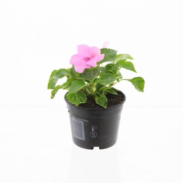 <h4>Impatiens wal. pink</h4>