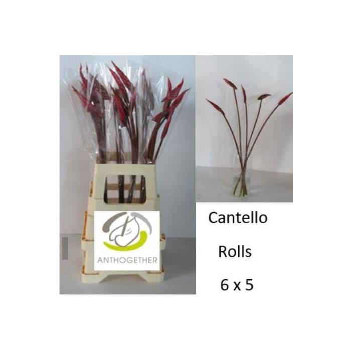 <h4>ANTH A CANTELLO</h4>