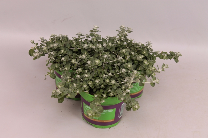 <h4>Helichrysum Nicrophylla Nana Silver</h4>