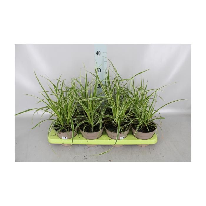 <h4>Carex morrowii 'Variegata'</h4>