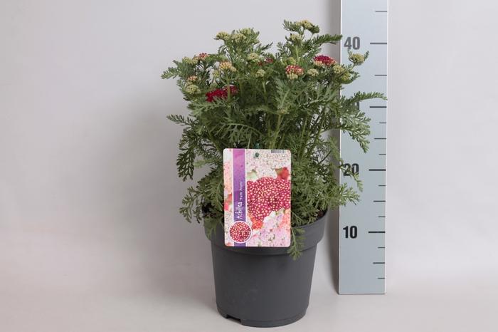 <h4>vaste planten 19 cm  Achillea Tutti Frutti Pomegranate</h4>
