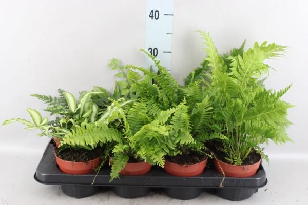 <h4>Ferns   ...mix</h4>