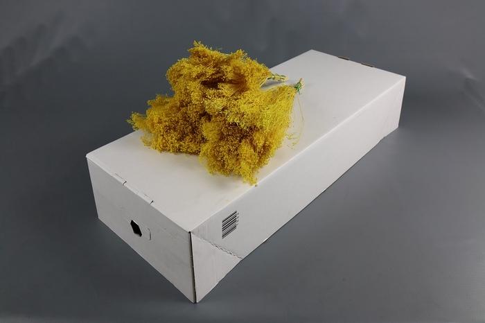 <h4>Genista bloei gedroogd Geel</h4>