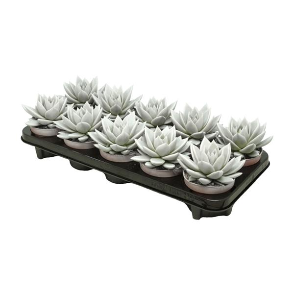 <h4>Echeveria coloured white</h4>
