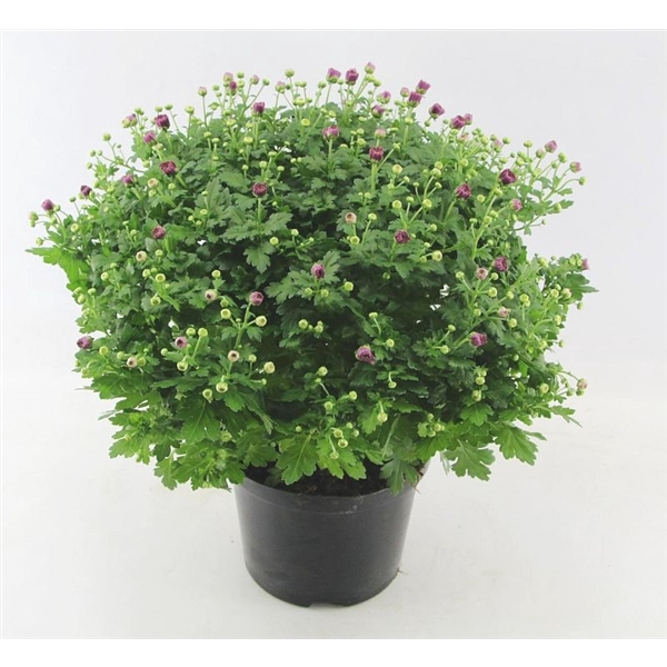 <h4>Chrysanthemum Jasoda Mauve</h4>