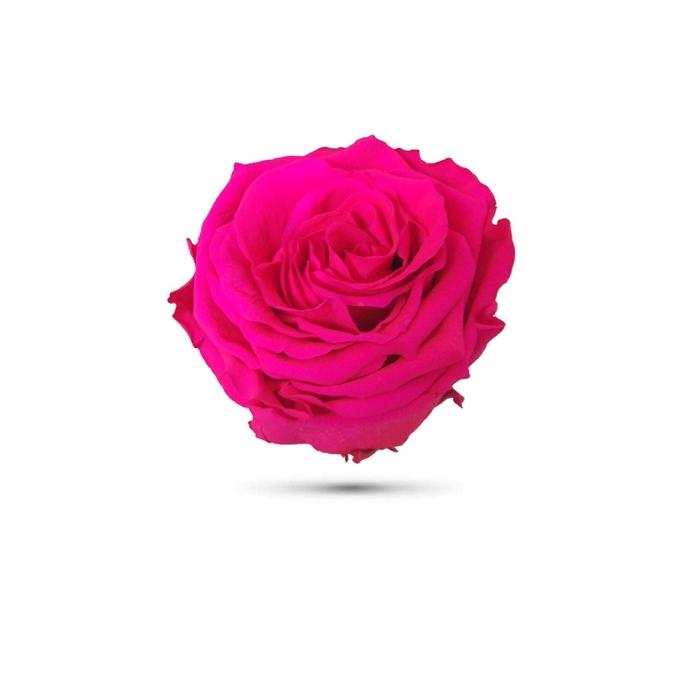 <h4>Rosa preservada cabeza fucsia</h4>