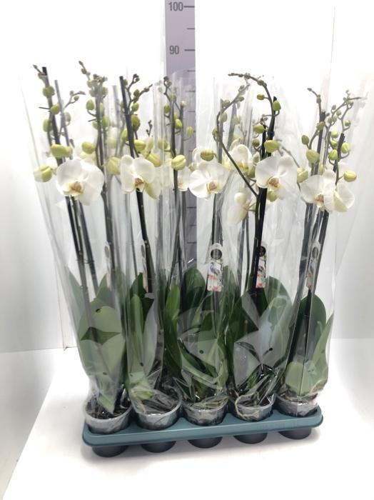 <h4>Phalaenopsis Silhouette 12Ø 75cm</h4>