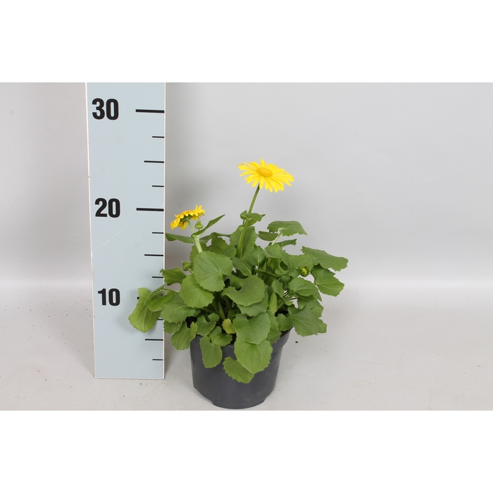 <h4>vaste planten 12 cm Doronicum Orientale Geel</h4>