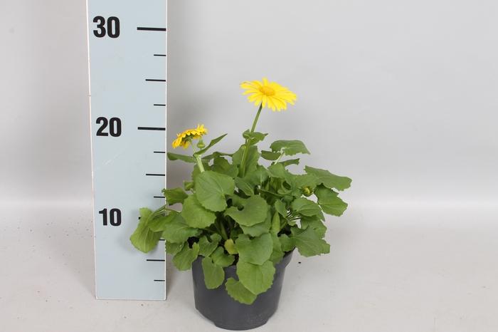vaste planten 12 cm Doronicum  Orientale Geel