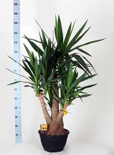 <h4>Yucca elephantipes overig 30Ø 120cm 3Head</h4>