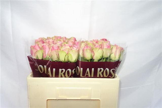 R GR BELLE ROSE