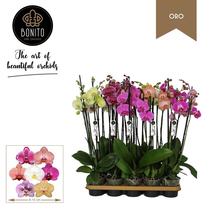 <h4>Phalaenopsis Mix 3 Pędy</h4>