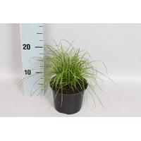 <h4>Cyperus Zumula</h4>