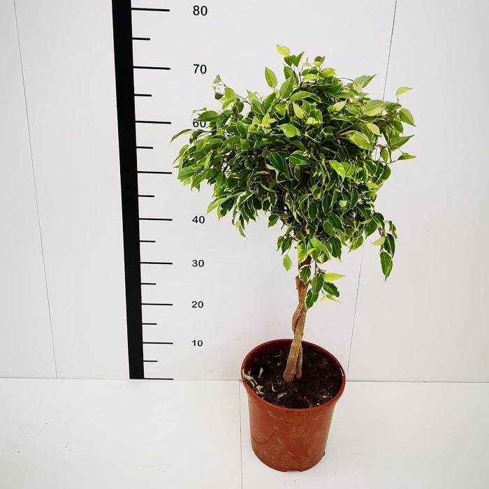 <h4>Ficus nitida trenza</h4>