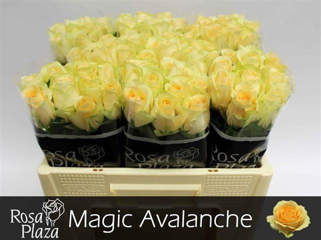 <h4>R GR MAG AVALANCHE+</h4>