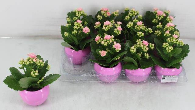 <h4>Arrangement Kalanchoe Rose Ceramique #</h4>