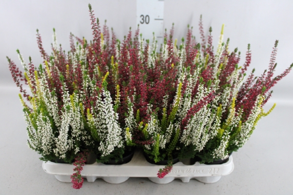 <h4>Calluna vulg. 'Beauty-L'  ..mix 3/p</h4>