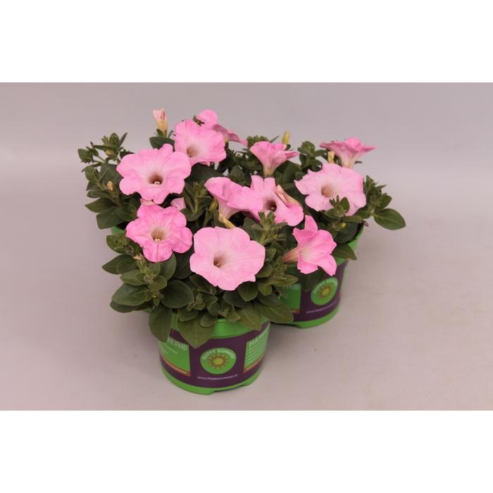 <h4>Petunia Saguna Sweet Pink</h4>