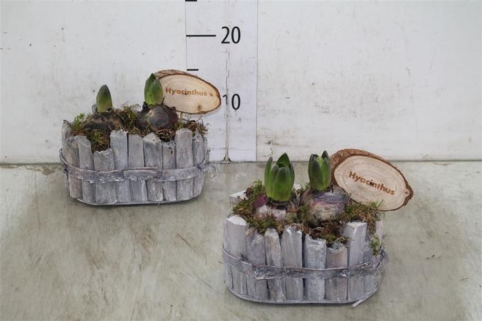<h4>Arr Hyacinth In Houten Plankenbakje Met Touwhengse</h4>