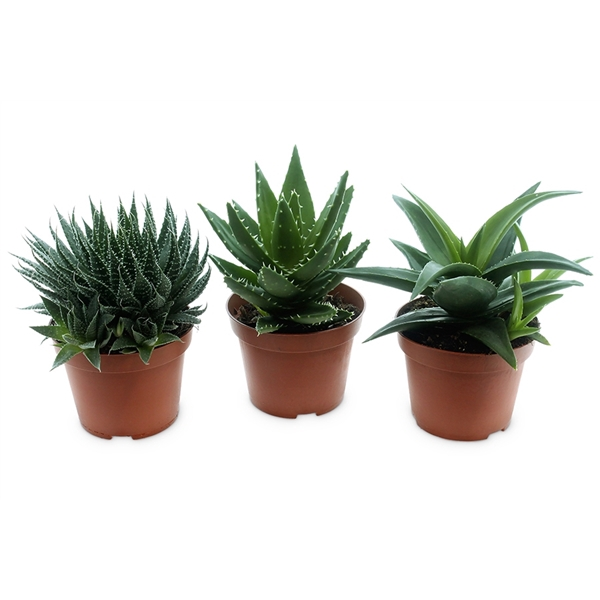 <h4>Aloe-haworthia premium mix</h4>