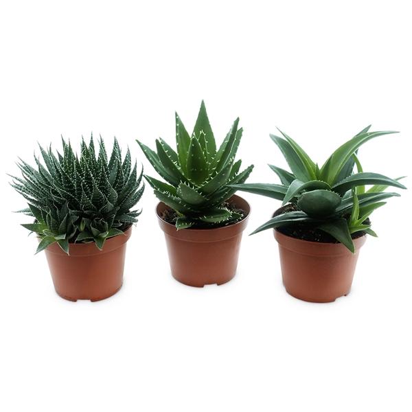 <h4>Aloe-haworthia mix - premium</h4>