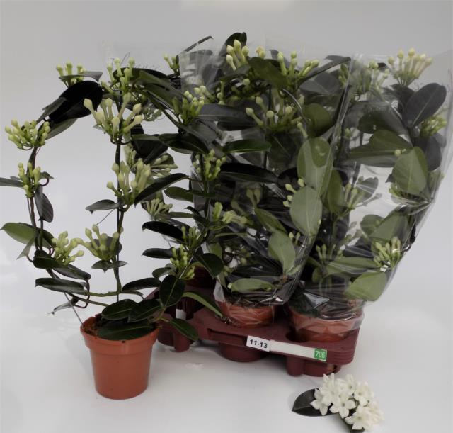 <h4>Stephanotis floribunda 12Ø 55cm 85fl</h4>