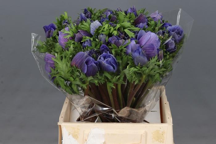 <h4>Anemone Mistral Plus Blauw Super</h4>