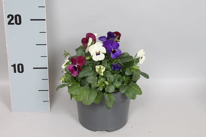 <h4>Viola Cornuta Trio Londen raspberry/wit/blauw</h4>