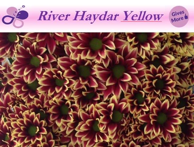 <h4>CHR T HAYDAR YELLOW</h4>