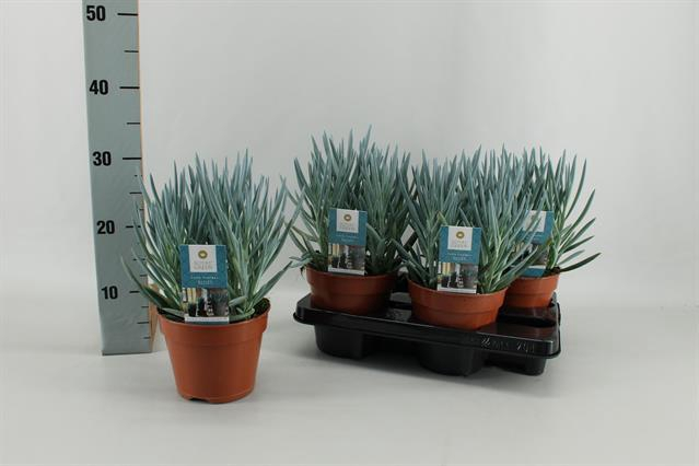 <h4>Curio ficoides Blues 15Ø 30cm</h4>