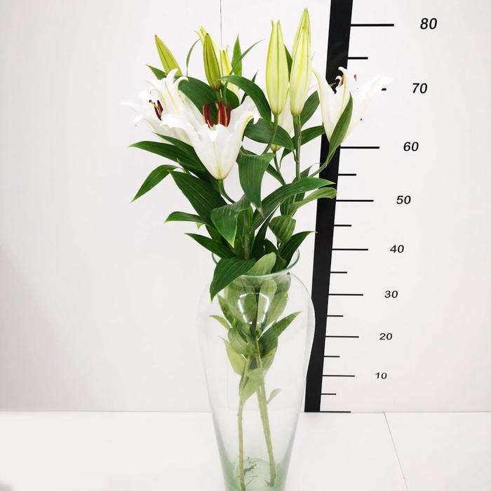 <h4>Lilium Oriental Helvetia</h4>