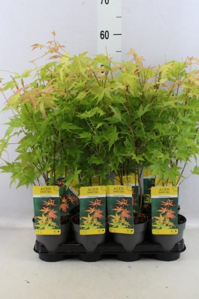 <h4>Acer palmatum 'Orange Dream'</h4>