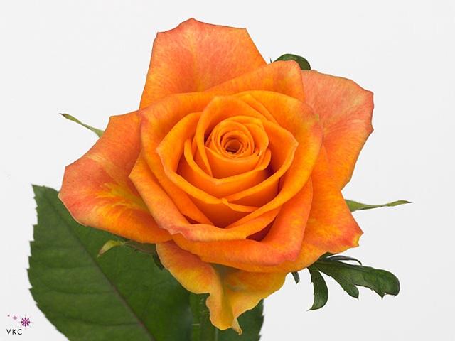 Rosa Gr. Sombrero